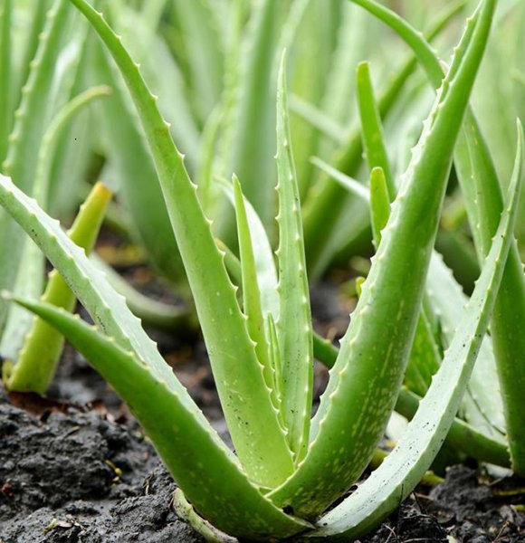 13 Unbelievable Aloe Vera Benefits For Hair & Face